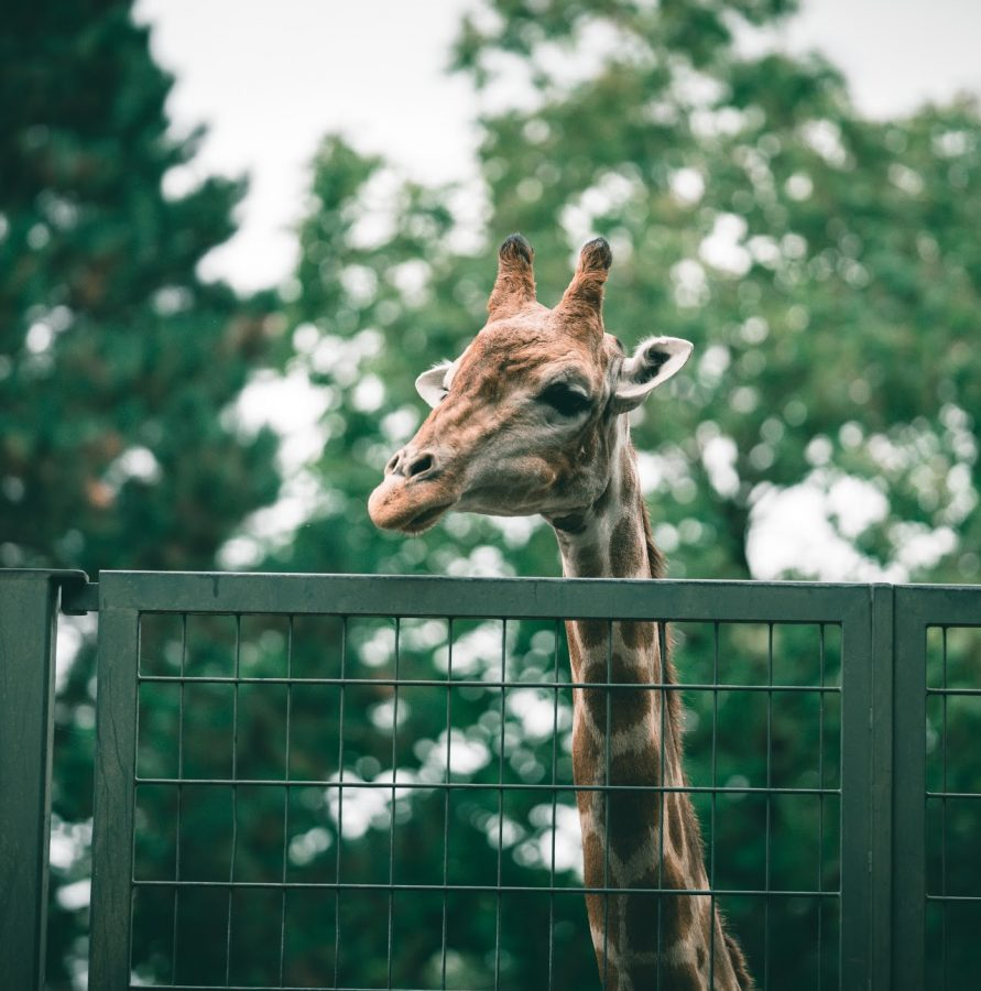 Zoos: A Haven, or a Prison?